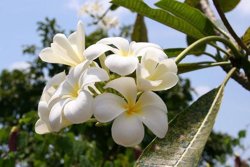 Обои Цветы франжипани на ветке