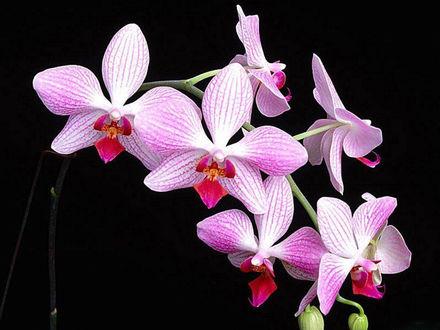 Обои Ветка бело-розовой орхидеи на чёрном фоне