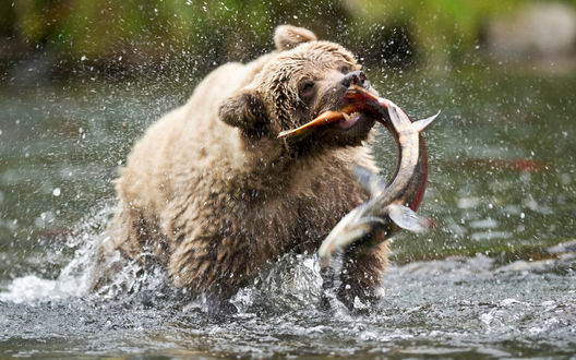 Обои Медведь ловит рыбу