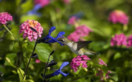 Обои Колибри пьёт нектар