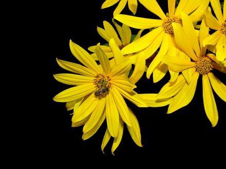 Обои Яркие желтые цветы и пчела на одном из цветков на черном фоне