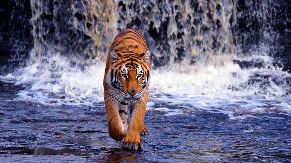 Обои Тигр идет по воде водопада