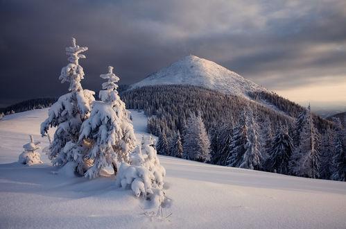Обои Две большие и маленькие заснеженные ели на фоне снежного хвойного леса, растущего на сопках, в солнечнрм свете