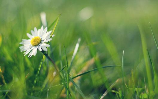Обои Ромашка в траве