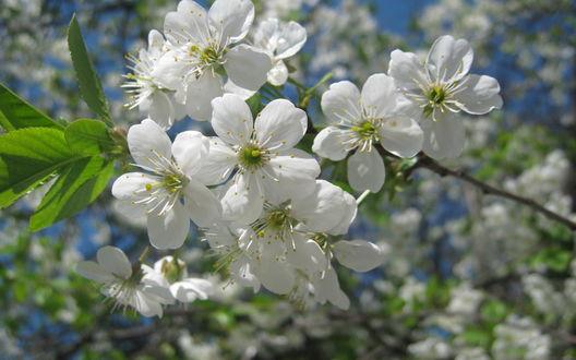 Обои Цветущая весной яблоня