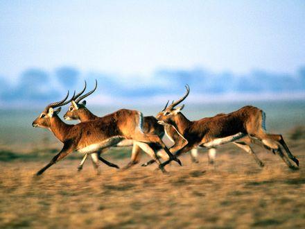 Обои Антилопы бегут по равнине
