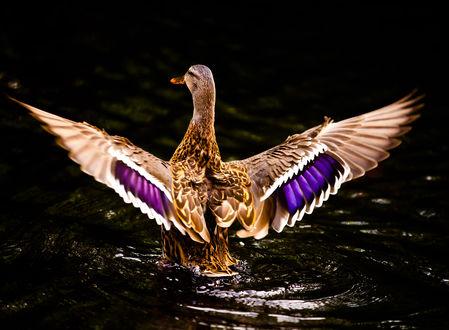 Обои Взлетающая красивая утка