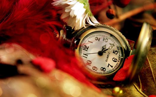 Обои Карманные часы лежат среди красных перьев, цветка ромашки (QUARTZ)
