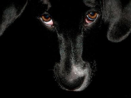 Обои Черная собака с грустными глазами