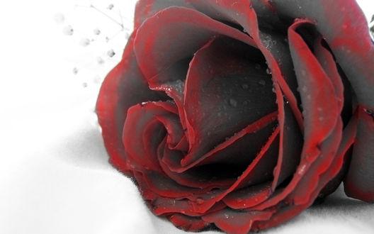 Обои Черная роза с красной окантовкой в капельках воды на белом фоне