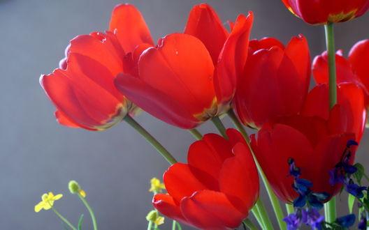 Обои Алые тюльпаны на сером фоне