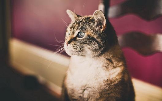 Обои Упитанный кот пристально смотрит куда-то в сторону