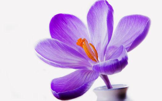 Обои Фиолетовый крокус в вазе