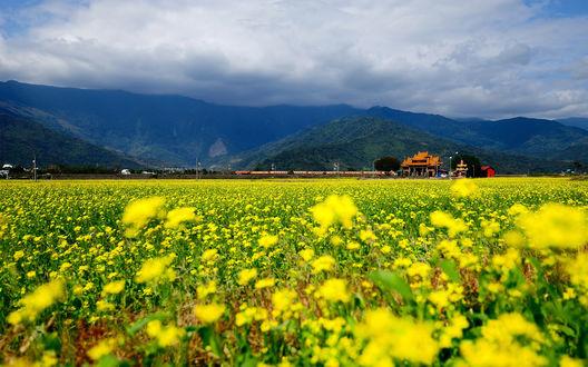 Обои Поле желтых цветов неподалеку от железной дороги