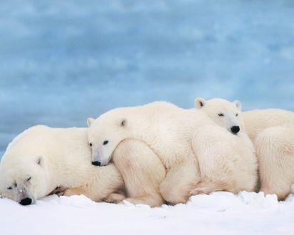 Обои Спящие белые медведи
