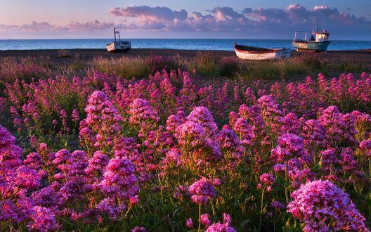 Обои Морской берег в ярких розовых цветах, стоящих стареньких лодках на фоне утреннего восхода солнца