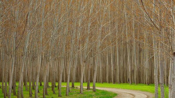 Обои Дорога через осиновый лес