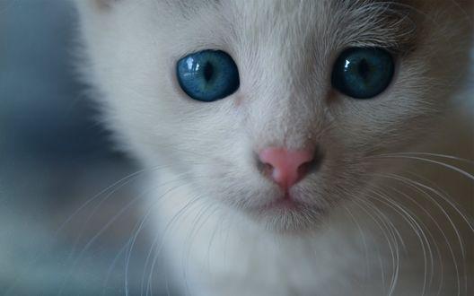 Обои Грустный белый голубоглазый котенок