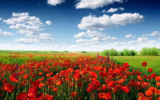 Обои Поле с красными маками, окруженное зелеными полями и деревьями на фоне голубого неба с белыми облаками
