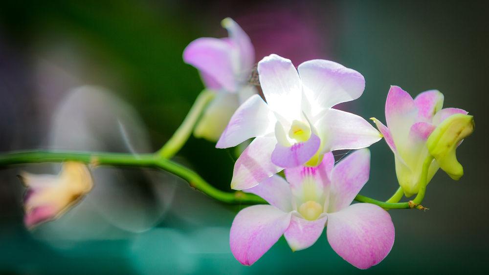 Орхидеи обои на рабочий стол широкоформатные