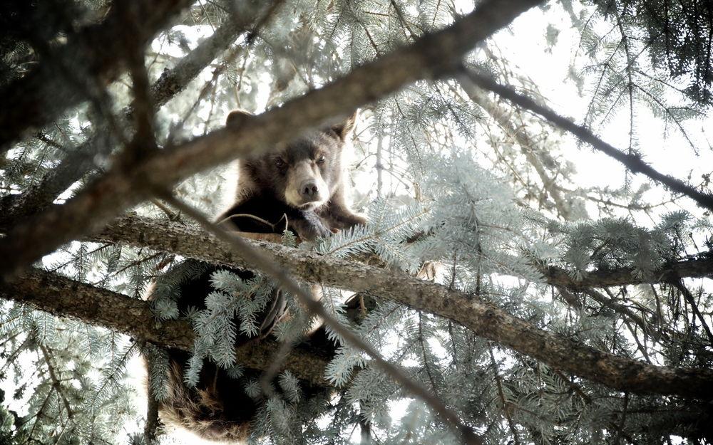 Обои Медведь залез на дерево с ветками, засыпанными снегом ...