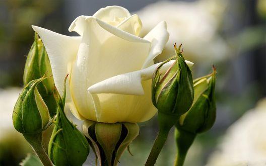 Обои Белая роза