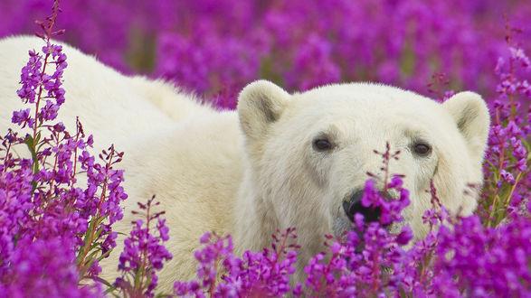 Обои Белый медведь стоит в розовых цветах