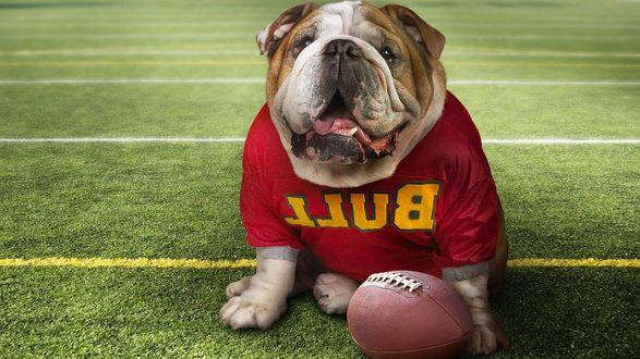 Обои Бульдог в красной футболке команды (Bull) сидит на футбольном поле возле мяча для игры в регби
