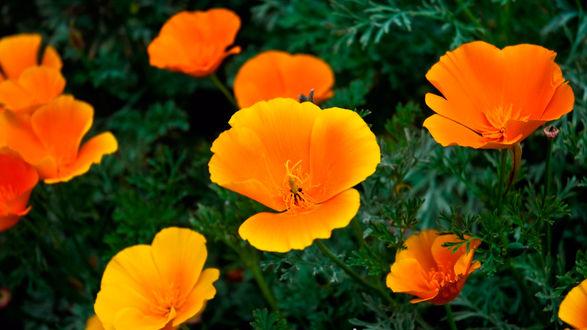 Обои Золотые цветы в зеленой траве