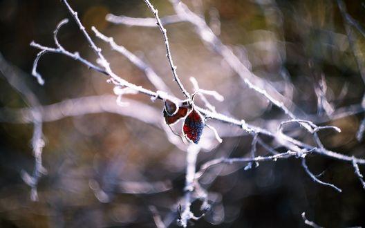 Обои Тоненькая ветка и сухие листья покрылись инеем