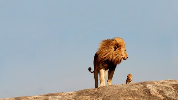 Обои Лев и львенок на краю горы