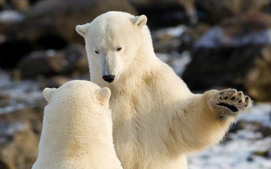 Обои Два белых медведя общаются