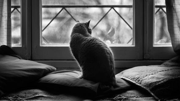 Обои Кошка британской породы одиноко сидит на подушках, глядя в окно