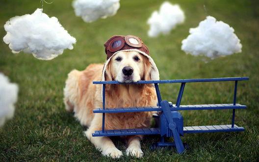 Обои Собака, породы золотистый ретривер, в летном шлемофоне сидит возле пластмассового синего самолета на фоне белых облаков из ваты
