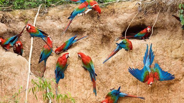 Обои Попугаи ара на фоне вырытых ими в глине гнезд