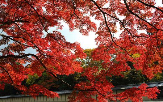 Обои Клены с красными листьями, растущие в парке города Киота, Япония / Kyoto, Japan