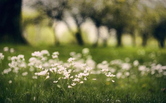 Обои Среди зеленой молодой травы выросли белые цветы
