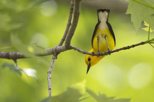 Обои Желтая птичка сидит на ветках деревьев