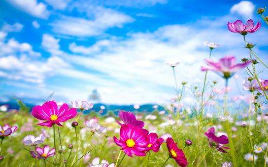 Обои Фиолетовые цветы в поле на фоне голубого неба и белых облаков