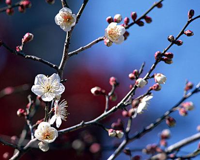 Обои Цветущие ветки вишни