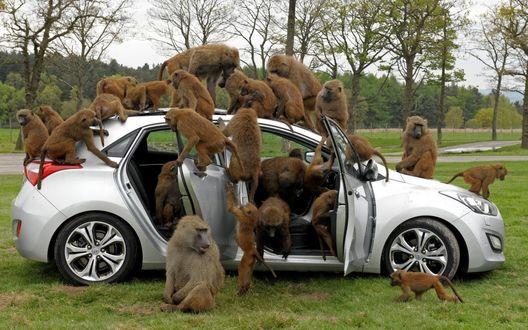 Обои Большое количество павианов сидит на легковом автомобиле снаружи и внутри