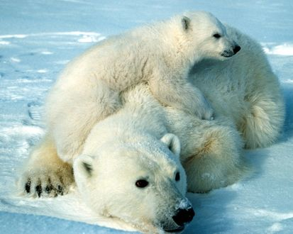 Обои Белая медведица с детенышем