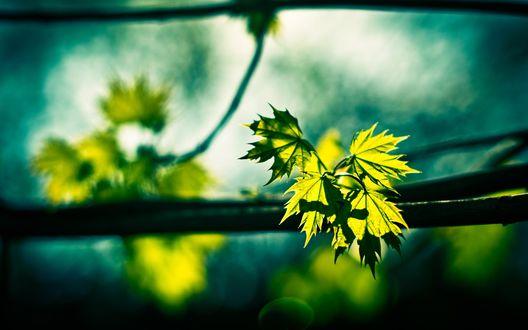 Обои Зеленые листья