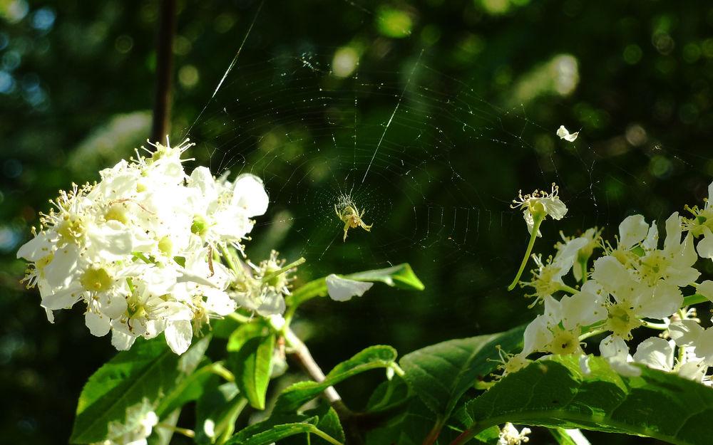 Обои для рабочего стола Цветущая весной черемуха, паук, свивший паутину между цветами