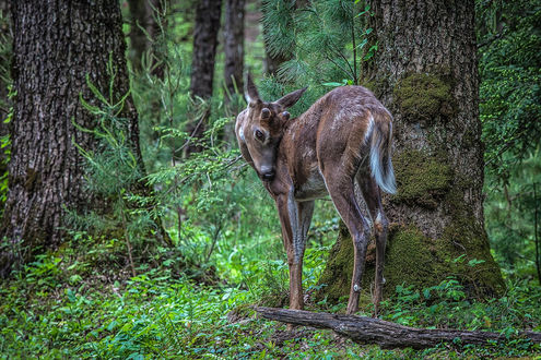 Обои Маленький олененок стоит возле дерева в лесной чаще