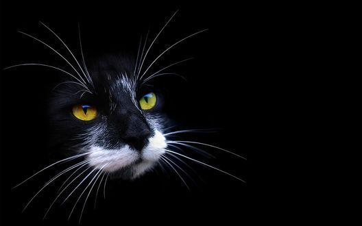 Обои Черный с белой мордочкой кот смотрит куда-то в сторону