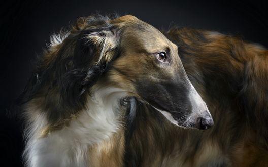 Обои Собака породы русская борзая на черном фоне