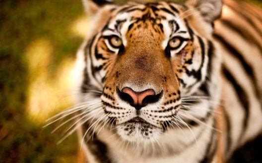 Обои Тигр смотрит вверх