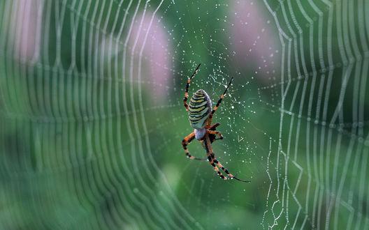 Обои Паук сидит на паутине