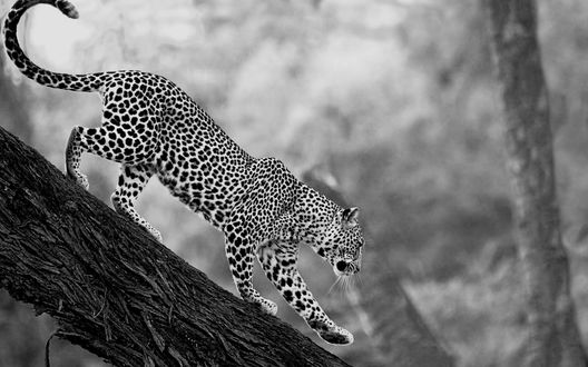 Обои Спускающийся леопард с дерева